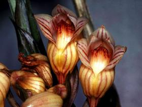 中华坛花兰Acanthephippium sinense Rolfe