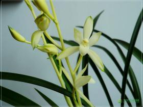 建兰铁骨素梅Cym.ensifolium'Tie Gu Su Mei'