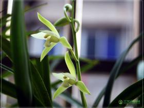 建兰龙岩素Cym.ensifolium'Long Yan Su'