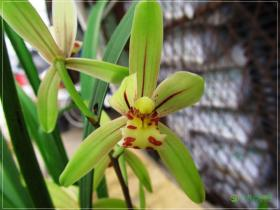 建兰小桃红Cym.ensifolium'Xiao Tao Hong'