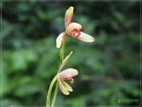 建兰宝岛仙女Cym.ensifolium'Bao Dao Xian Nv'