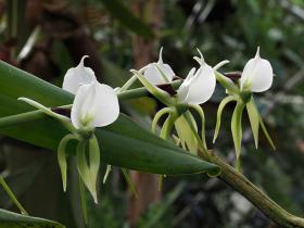 象牙白武夷兰Angraecum.eburneum