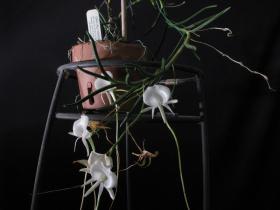 司考替武夷兰Angraecum.scottianum