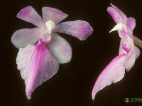 多花指甲兰Aerides.rosea