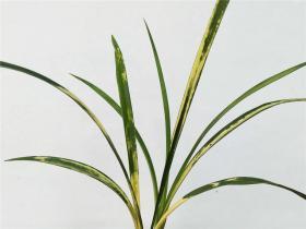 建兰蓬莱之花Cym.ensifolium'Peng Lai Zhi Hua'