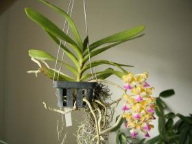 科拉比指甲兰Aerides.krabiensis