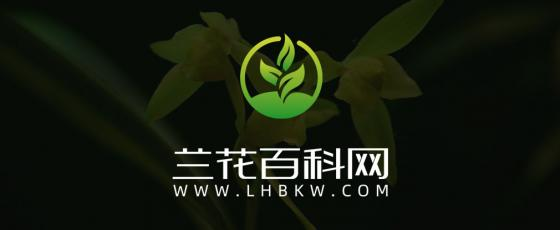 寒兰紫彩玉Cymbidium kanran Makino'Zi Cai Yu'