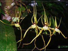 尾状长萼兰Brassia caudata