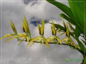 瓦锦长萼兰Brassia wageneri