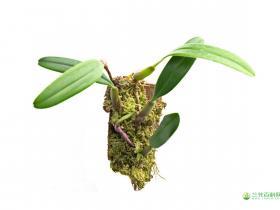 芳香石豆兰 Bulbophyllum ambrosia