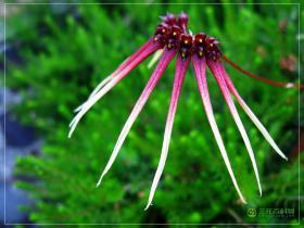 直唇卷瓣兰Bulbophyllum delitescens