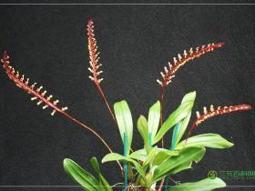 小眼镜蛇石豆兰Bulbophyllum falcatum