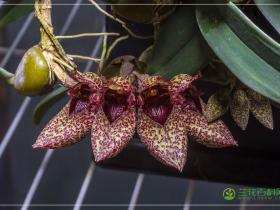 弗氏石豆兰Bulbophyllum frostii