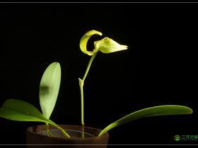 大花石豆兰Bulbophyllum grandiflorum