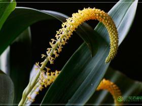 香石豆兰Bulbophyllum odoratum