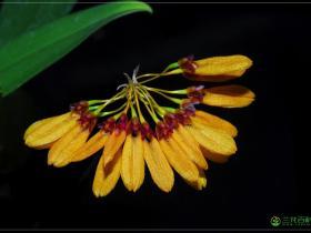 藓叶卷瓣兰Bulbophyllum retusiusculum
