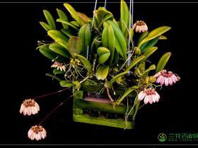 伞花卷瓣兰Bulbophyllum umbellatum