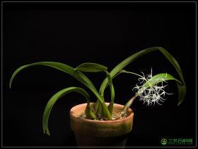 烟火石豆兰Bulbophyllum laxiflorum var.majus