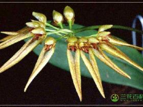 带叶卷瓣兰Bulbophyllum taeniophyllum