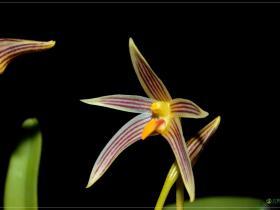 赤唇石豆兰Bulbophyllum affine