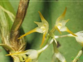 茎花石豆兰Bulbophyllum cauliflorum