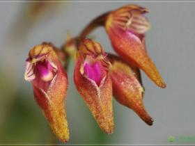 瘤唇卷瓣兰Bulbophyllum japonicum