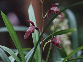 建兰紫鸾Cym.ensifolium'Zi Luan'