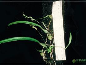 伏生石豆兰Bulbophyllum reptans