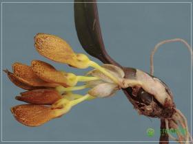 匙萼卷瓣兰Bulbophyllum spathulatum