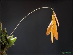 双叶卷瓣兰Bulbophyllum wallichii