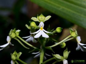 银带虾脊兰Calanthe argenteostriata C.Z.Tang & S.J.Cheng
