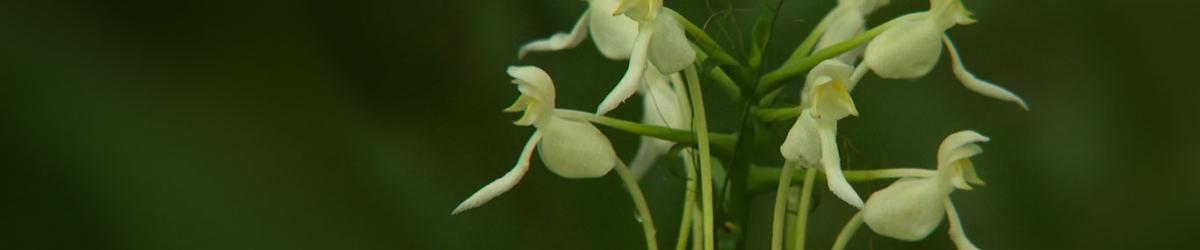 二级保护兰花