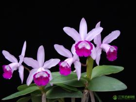 英特卡特兰Cattleya intermedia Graham ex Hook.