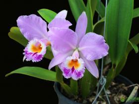 拉比阿塔卡特兰Cattleya labiata Lindl.