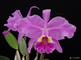 鲁迪氏卡特兰Cattleya lueddemanniana Rchb.f.