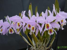 莫西卡特兰Cattleya mossiae