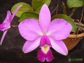 紫堇卡特兰Cattleya violacea (Kunth) Lindl.