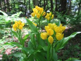 金兰Cephalanthera falcata图片及特征