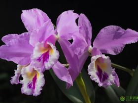 卡特兰属Cattleya Lindl.