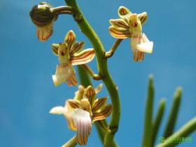 广东隔距兰Cleisostoma simondii var. Guangdongense