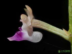 红花隔距兰Cleisostoma williamsonii (Rchb.f.) Garay