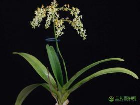 大叶隔距兰Cleisostoma racemiferum (Lindl.) Garay