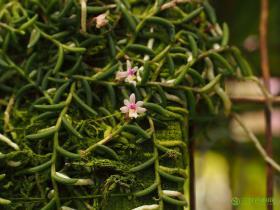 蜈蚣兰Cleisostoma scolopendrifolium (Makino) Garay
