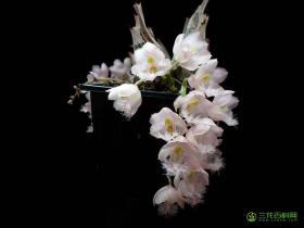 粉花克劳兰Clowesia rosea Lindl.
