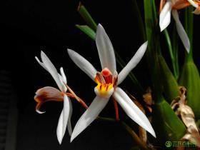 禾叶贝母兰Coelogyne viscosa Rchb.f.
