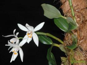 卵叶贝母兰Coelogyne occultata Hook. f.