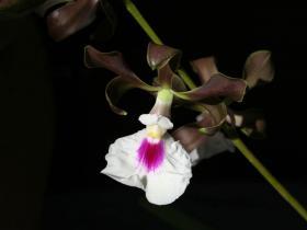 心唇围柱兰Encyclia cordigera (Kunth) Dressler