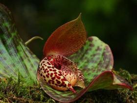 丽江杓兰Cypripedium lichiangense S.C.Chen & P.J.Cribb