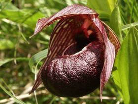 褐花杓兰Cypripedium calcicola Schltr.