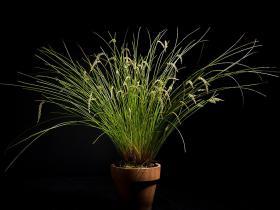 柔弱足柱兰Dendrochilum tenellum (Nees & Meyen) Ames